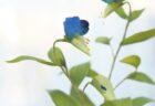 イチョウの葉のブローチ